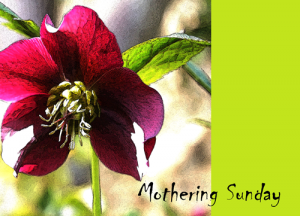 hellebore-mothering-sunday