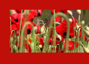 poppy-red-focus-low