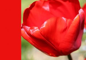 2014-tulip-red