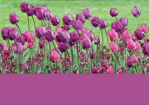 Tulip-mauve