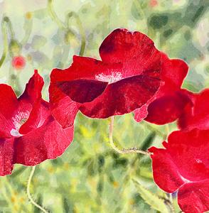 6x6-red-poppy-sage-front