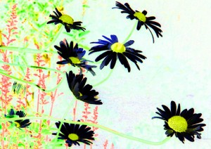 7x5 card summer daisies in black